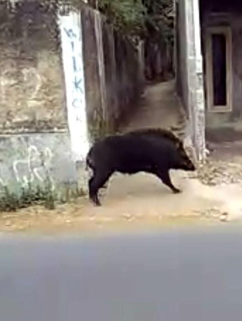 Babi Hutan Serang Warga Kerinci, 1 Orang Tewas dan 3 Terluka