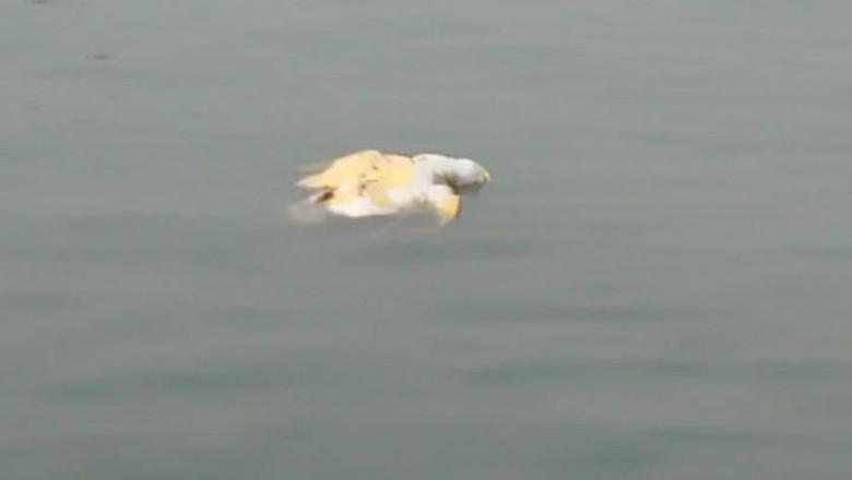 Penyu Mati Ditemukan Mengapung di Laut Bojonegara Serang