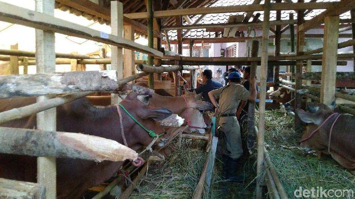 Dinas Peternakan dan Perikanan Kabupaten Ciamis memeriksa sejumlah hewan kurban jelang Idul Adha. Dari pemeriksaan itu ditemukan puluhan sapi tak layak kurban.