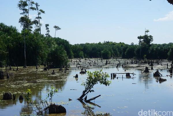 Jenis sungai atau rawa purba Tebat Rasau, alluvial juga memiliki ciri khusus. Yakni merupakan habitat alamiah dari ikan hias arwana, ikan ampong dan ikan buntal (Shinta Angriyana/detikcom)