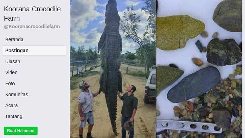 Bangkai Buaya 4,7 Meter Dibedah, Isinya Hal Tak Terduga