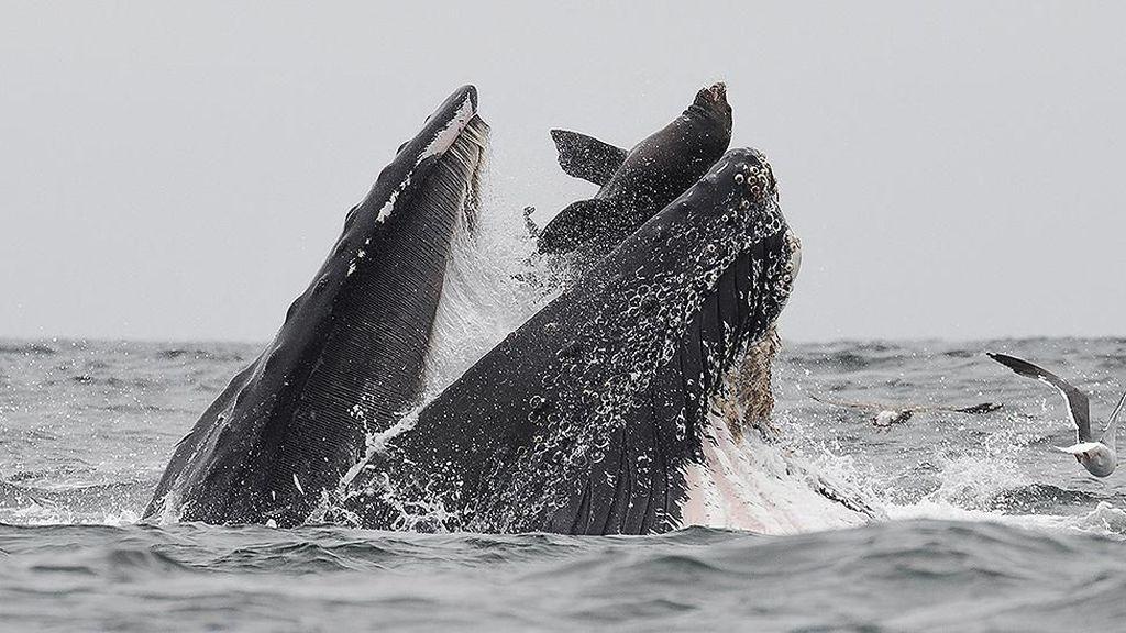 Kejadian Sekali Seumur Hidup, Paus Bungkuk Menelan Singa Laut