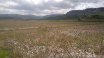 Kekeringan di Malang Selatan Meluas, 310 Hektare Lahan Terancam Gagal Panen