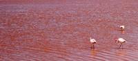 Karena mengandung mineral garam juga, Laguna Colorada memiliki beberapa varietas algae yang melimpah. Karena kelimpahan algae yang berlebihan alias blooming, danau garam ini memiliki wajah yang berwarna merah bagai genangan darah. (iStock)