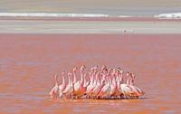 Karena tingginya varietas algae pula, danau garam ini mengandung banyak planton. Hal ini membuat Laguna Colorada menjadi salah satu habitat dari burung flamingo. (iStock)