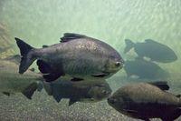 Ikan pacu (iStock)