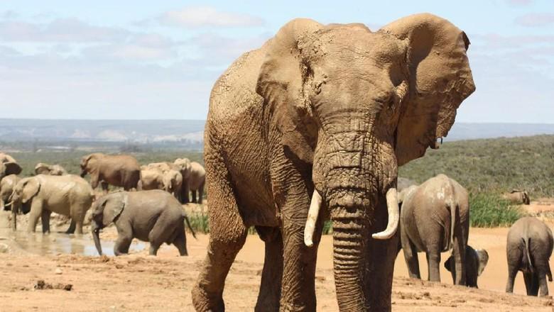 Gajah dari Ivory Coast/Pantai Gading (iStock)