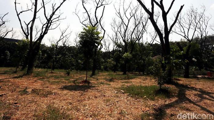 Kemarau, Pohon di Hutan Kota Bekasi Mati. (Foto: Rengga Sancaya)