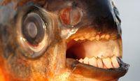 Gigi ikan pacu seperti gigi manusia (CNN Travel)