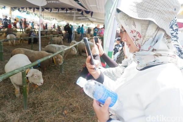 Domba-domba ini jadi pusat perhatian karena rupanya yang menggemaskan saat Festival Dombat di Dieng Culture Festival Sabtu kemarin. (Uje Hartono/detikcom)