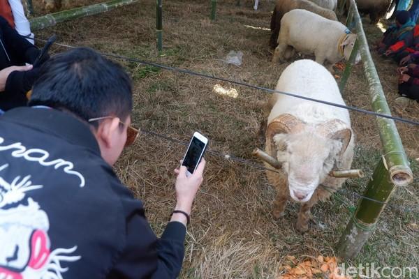 Domba Batur sebagian besar hidup di Kecamatan Batur, Banjarnegara. Karena, domba ini lebih cocok hidup di tempat yang suhunya dingin. (Uje Hartono/detikcom)