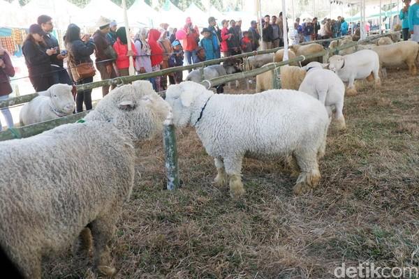 Harga seekor Domba Batur bisa mencapai Rp 20 juta lho. Semakin tua semakin mahal. Bahkan beberapa Domba Batur bisa semahal sapi (Uje Hartono/detikcom)