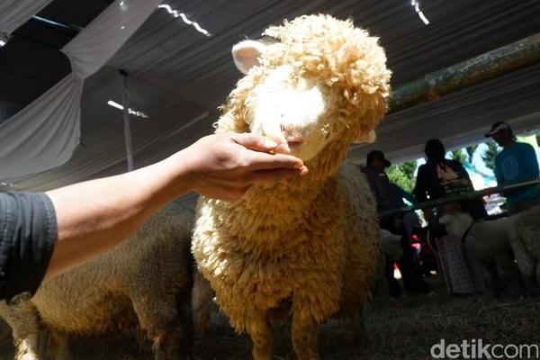 Ini adalah Dombat, Domba Batur yang punya bulu lebat dan menggemaskan. (Uje Hartono/detikcom)