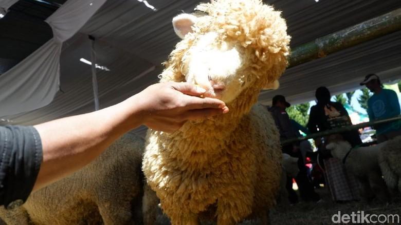 Domba Batur (Dombat)  (Uje Hartono/detikcom)
