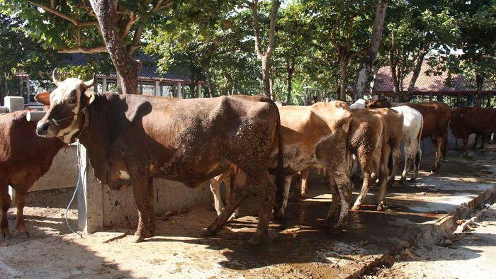 Penjualan hewan ternak sapi dan kambing di Pasar Hewan Ambarketawang, Gamping Sleman meningkat jelang Idul Adha, (5/8/2019).