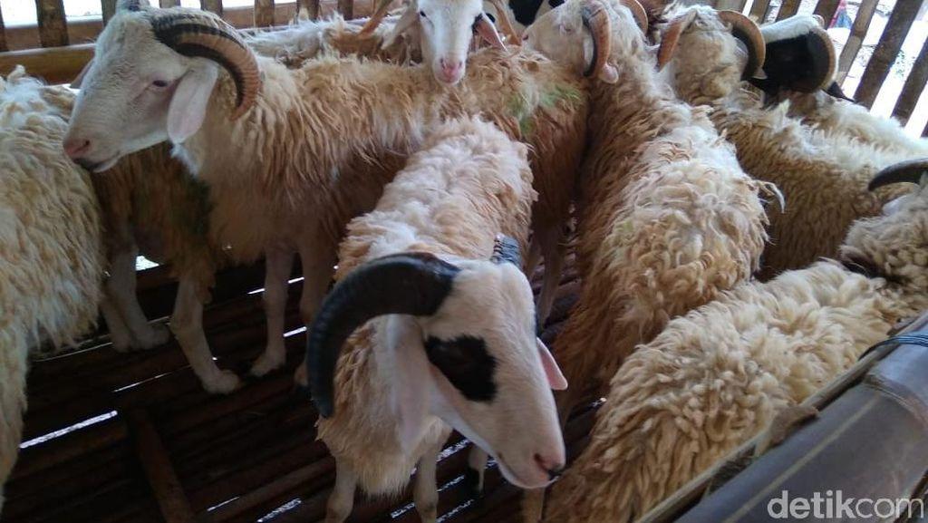 Khawatir Hewan Kurban Terinfeksi Antraks, Begini Ciri-cirinya