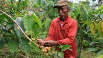 Demi Pelestarian Lingkungan Petani Ini Terapkan Kopi Konservasi