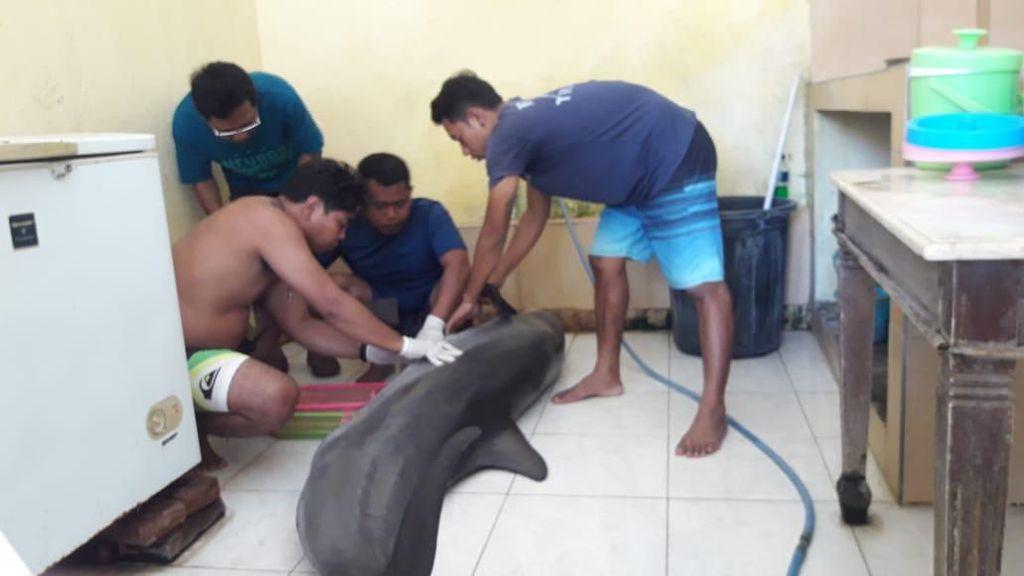 Lumba-lumba Atraksi Hotel di Bali Mati, BKSDA Turun Tangan