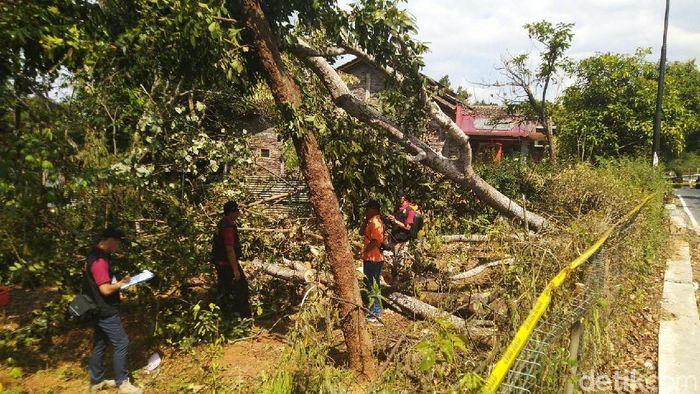 gambar 1 - pohon sengon penyebab listrik mati