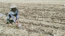 Dilema Petani Jepara Saat Kemarau, Nganggur atau Keluarkan Modal Tinggi