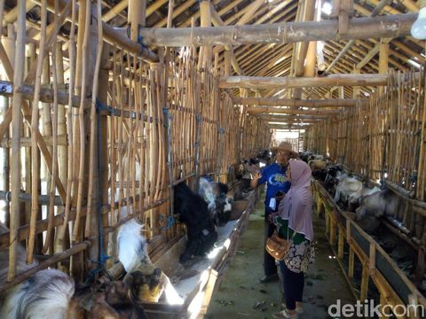 Showroom kambing kurban di Ponorogo/