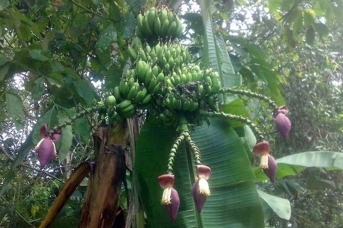 Jika biasanya tanaman pohon pisang hanya tumbuh dengan 1 jantung pisang, lain halnya dengan pohon pisang ini yang memiliki 5 jantung sekaligus. Foto: Istimewa