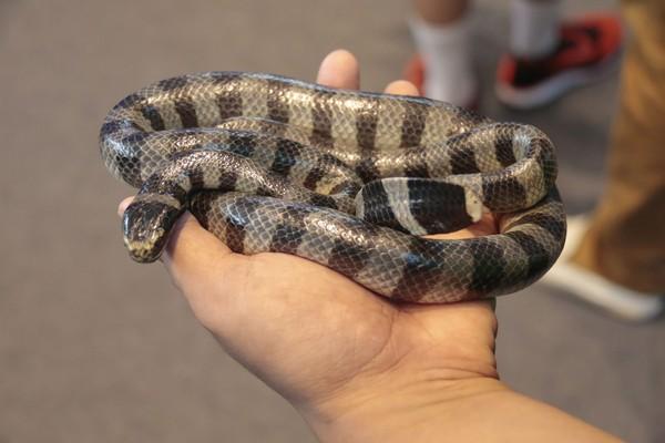 50% gigitan ular belang Blue Krait (Bungarus candidus) menyebabkan kematian. Ular berbisa ke-6 dunia ini ada di Asia Tenggara. Di Jawa namanya Ular Weling (iStock)