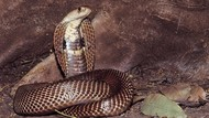 Atraksi Bahaya Pemuda Bandung Berujung Gigitan Mati Kobra