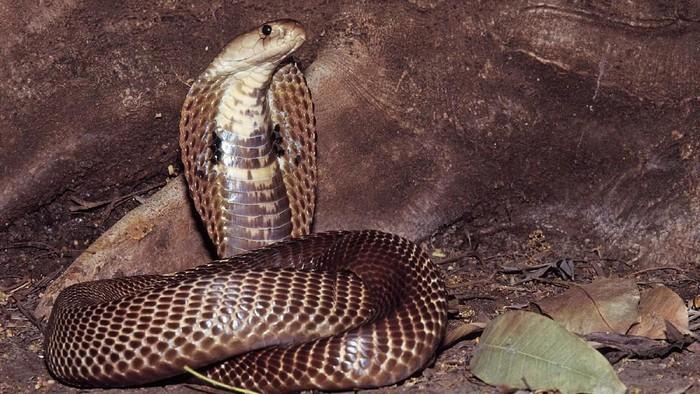 Ular Berbisa di Dunia - Kobra India
