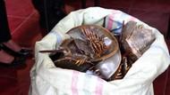 Ini 332 Belangkas yang Disita dari Pengumpul Kepiting