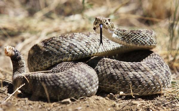 Ular derik (Crotalus sp.) terdapat di Amerika Serikat dan Meksiko.Ia menggoyangkan ekornya dan menimbulkan suara derik. Ini ular paling berbisa nomor 10 di dunia (iStock)
