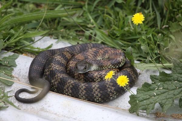 Ranking 7 ada Tiger Snake (Notechis scutatus) yang agresif saat memangsa. Ular belang ini ada di Australia (iStock)