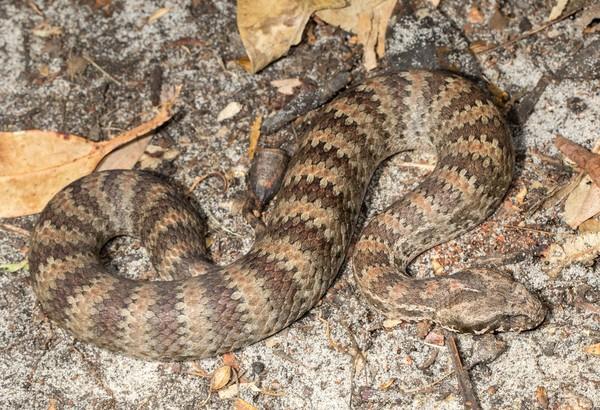 Keluarga Death Adder (Acanthophis sp.) adalah jenis ular mematikan nomor 4 dunia. Ular ini ada di Australia dan Papua, Indonesia. Anggota Brimob di Mimika menjadi korban ular ini (iStock)
