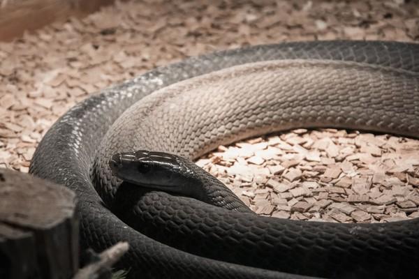 Ular Black Mamba (Dendroaspis polylepis) adalah ular berbisa nomor 8 dunia dan terkenal dari Afrika Selatan. Manusia yang dipatuk ular ini bisa lumpuh hingga meninggal (iStock)