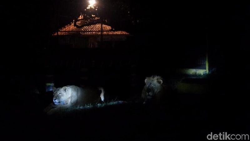 Melihat satwa kebun binatang di malam hari sambil berpetualang dan berinteraksi dengan satwa? Datang saja ke Kebun Binatang Serulingmas, Banjarnegara. (Uje Hartono/detikcom)