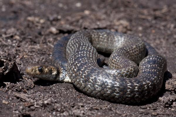 Eastern Brown Snake (Pseudonaja textilis) adalah ular paling berbisa nomor 5 di dunia dari Australia dan Papua Nugini. Ukuran dewasa ular ini mencapai 2 m (iStock)