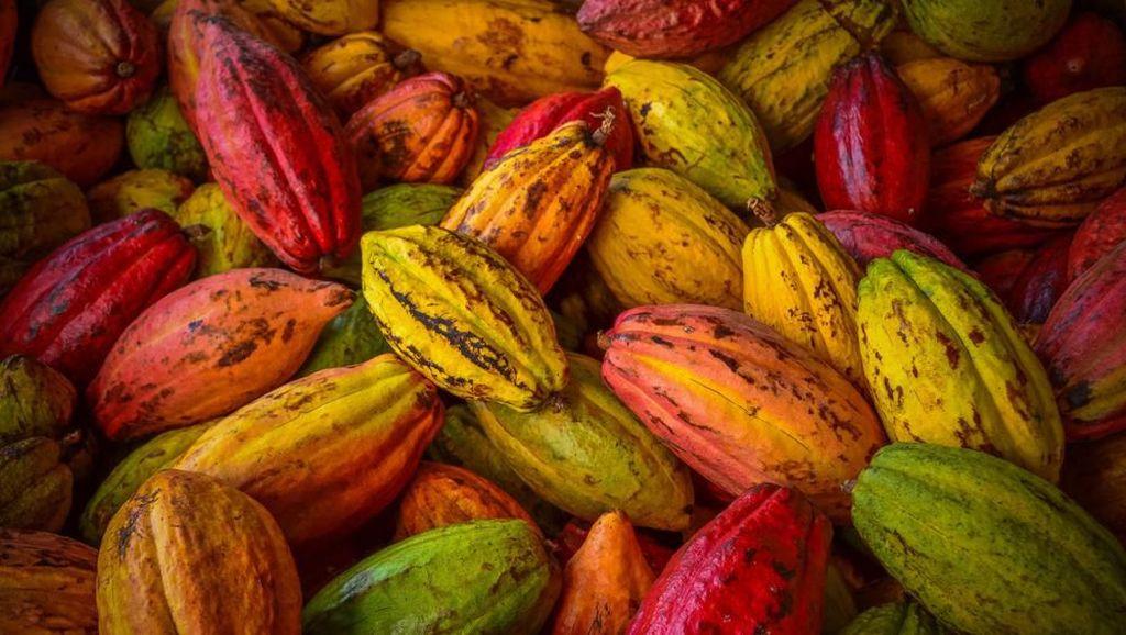 Tangkap Peluang Ekspor Pasar Eropa, Produksi Kakao Digenjot