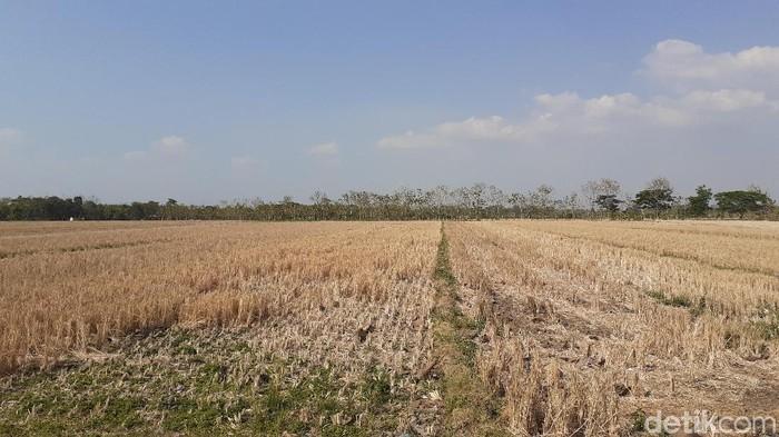 Lahan pertanian di Sragen, Jumat (9/8/2019).