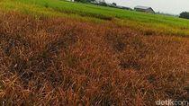 Hama Wereng Serang Puluhan Hektare Sawah di Aceh Utara