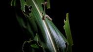 Petani di China Banting Tulang Berantas Hama Ulat Grayak