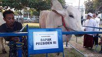 Sapi Kurban Jokowi Diminumi Jamu, Pakar Sapi: Tak Masuk Akal!