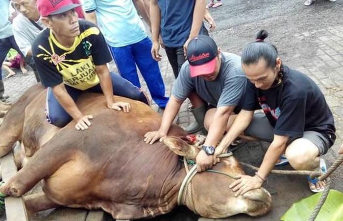 Sebelum hewan kurban dipotong, para panitia kurban beramai-ramai untuk menaklukan hewan agar tidak berontak saat di potong. Foto: Istimewa