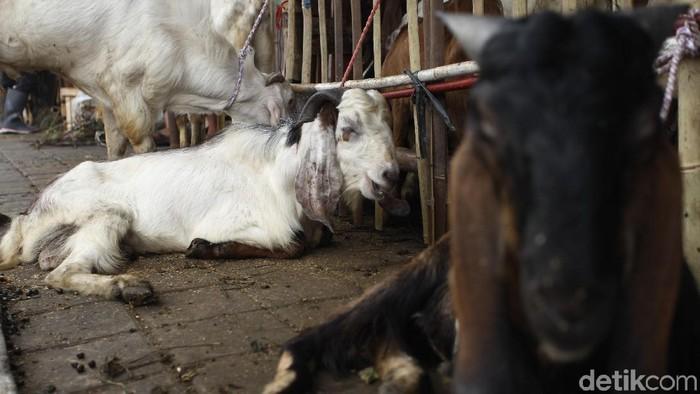 Ilustrasi kurban kambing. Foto: Rifkianto Nugroho