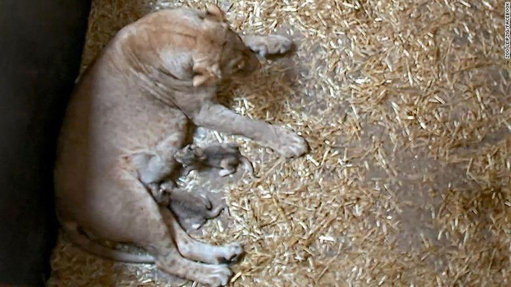 Hiks! Induk Singa Ini Makan Dua Bayinya