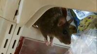 Minimarket Ini Tutup Usai Video Tikus Berkeliaran di Dalamnya Viral