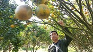 Foto: Yang Asyik di Garut, Wisata Petik Jeruk