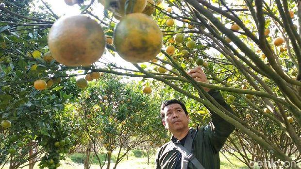 Kebun Jeruk Cikajang