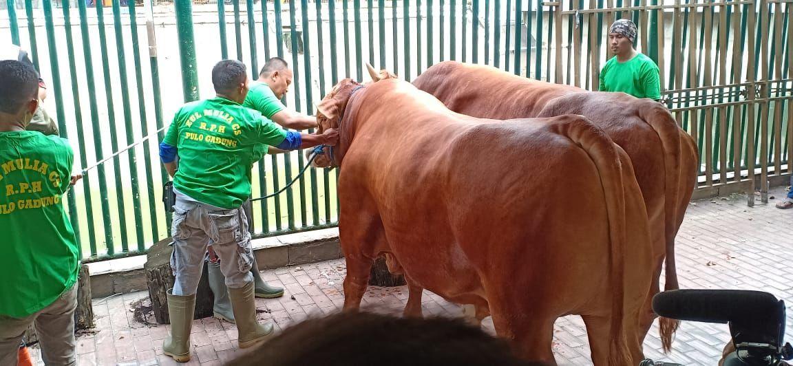 Penyembelihan hewan kurban di Masjid Istiqlal, Jakarta Pusat, mulai dilakukan. Sapi Presiden Joko Widodo (Jokowi) jadi hewan kurban pertama yang disembelih.