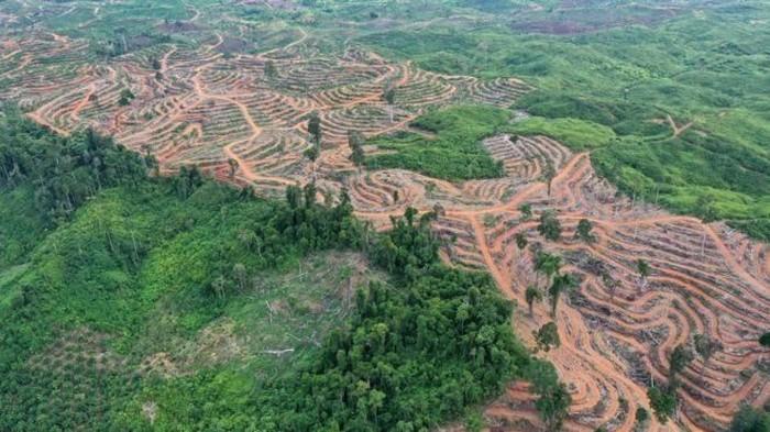 Hutan Indonesia dibabat untuk perkebunan kelapa sawit. (EPA)