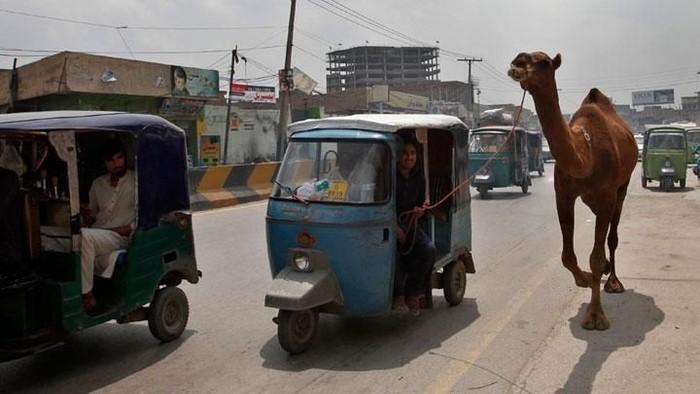 Beberapa penjual hewan kurban memang menyediakan jasa antar sapi atau kambing. Namun terkadang banyak orang justru ingin membawanya sendiri. Nah momen ini yang membuat banyak orang tampak unik ketika membawa hewan. Foto: istimewa